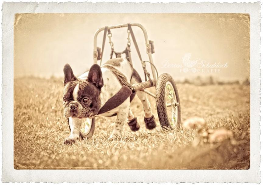 hundefotos berlin, hundefotos, französische bulldogge, bulldogge, bullyfotos